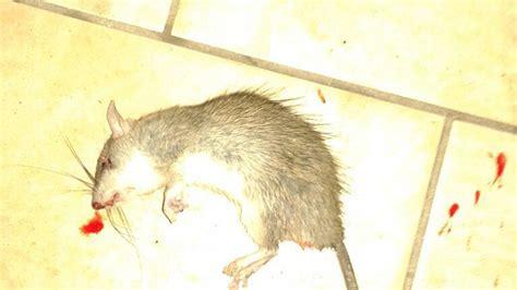 topi in casa cosa fare topi dal co abbandonato l incubo senza di alcuni