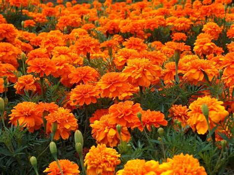 marigold color marigold flowers orange color