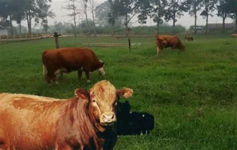 Daftar Bibit Sapi Limosin bibit sapi limosin yang bagus dan makanan yang cocok