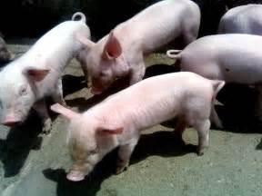 file pigs jpg
