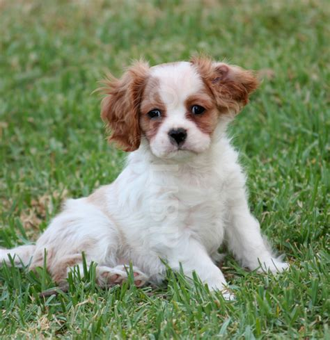 cavalier puppies cavalier king charles spaniel puppies puppies breed information image pictures