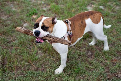 american bulldog boxer mix puppies the american bulldog boxer mix a well rounded protection gt puppy toob