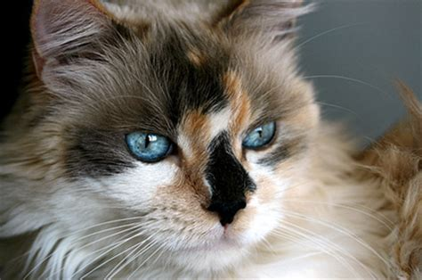 are there calico cats