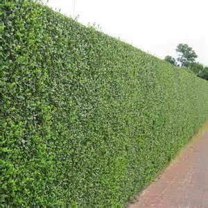 How To Create A Topiary - privet hedge plants ligustrum ovalifolium hedging