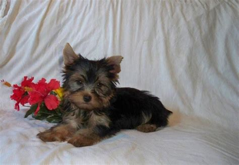 why yorkies make pets pruitt yorkies