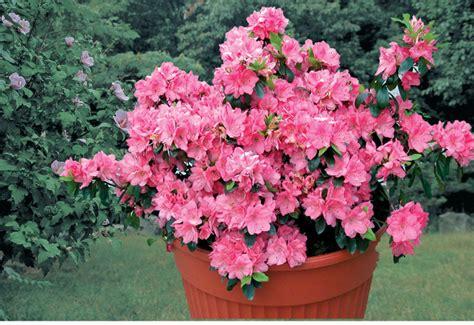azalea vaso azalee cure e coltivazione fai da te in giardino