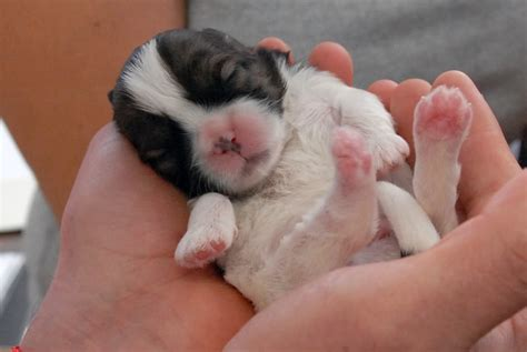 newborn shih tzu puppies shih tzu puppy shih tzu and newborns on