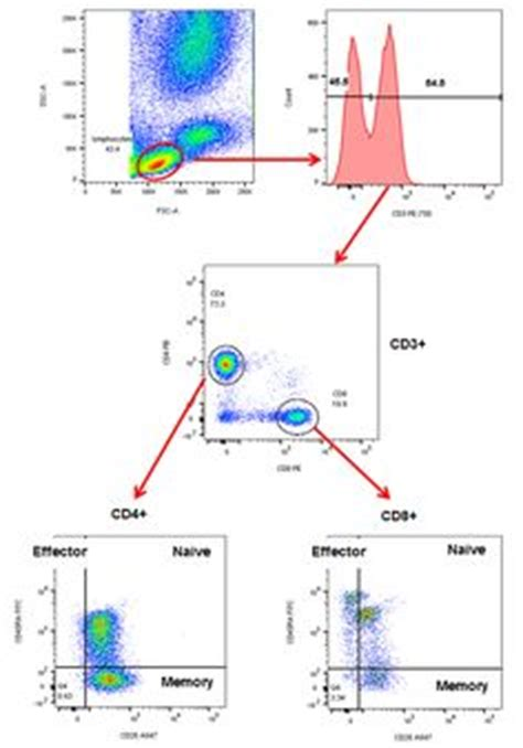 pattern recognition receptors youtube balancing protection and immunopathology in fungal