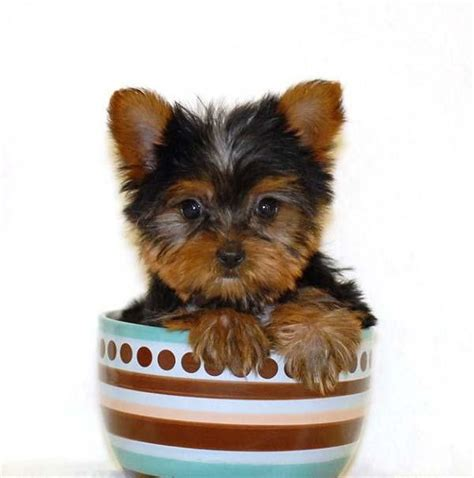 yorkie information and facts teacup yorkies information care and facts
