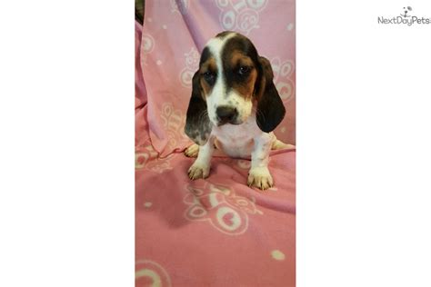 basset hound puppies for sale in ohio basset hound puppy for sale near cincinnati ohio a4417076 4241