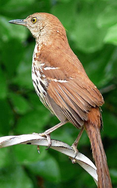 georgia ga state bird list of 50 state birdes of the