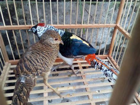 Anakan Ayam Ringneck mengenal ternak amherst pheasant yang eksotis hobiternak