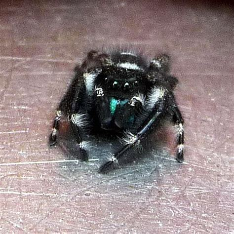 Garden Jumping Spider Poisonous Black And White Jumping Spider