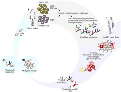 frontiers  potential  donor  cell repertoires  neoantigen targeted cancer