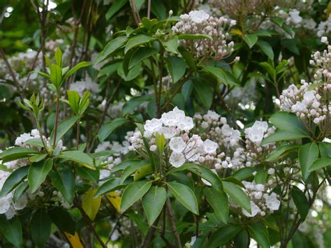 mountain laurel bing images