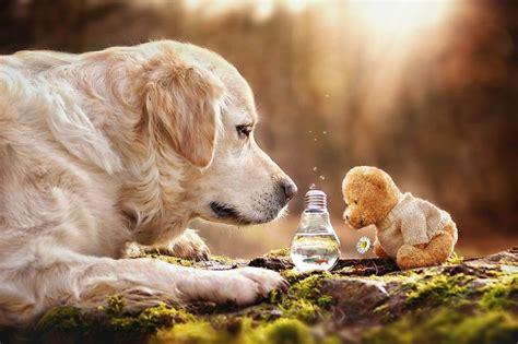 teddy golden retriever as aventuras de mali e seu urso de pel 250 cia conex 227 o fotogr 225 fica