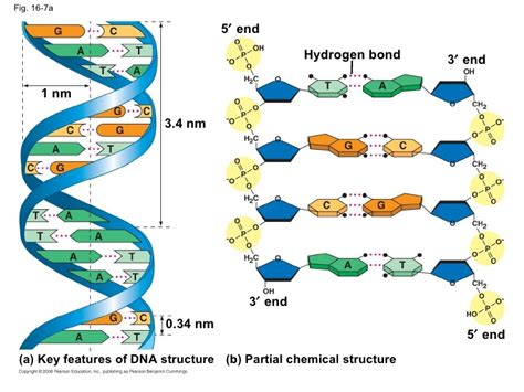 diagram and label a section of dna dna structure labeled hydrogen bonds academic essay