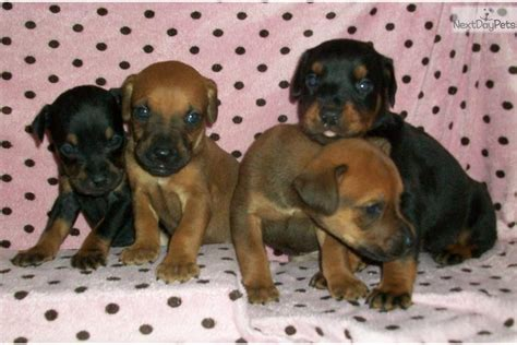 canis panther puppies jezreal canis panther puppy for sale near fresno madera california 59168db2