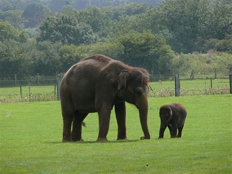 Picture 12 of 12 - Indian Elephant (Elephas Maximus ...