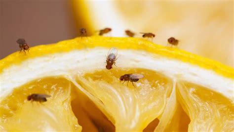 fruit fly eggs fruit fly eggs in bananas