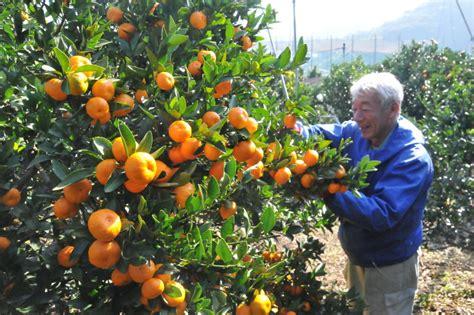 orange trees new year miraculous 859 year mandarin trees still producing