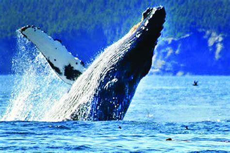 whale watch week explore manzanita