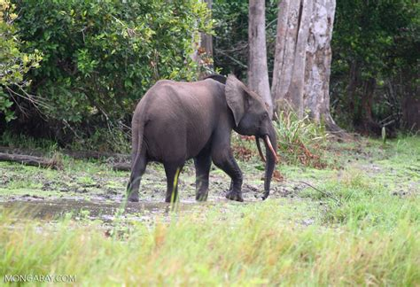 an forest elephant returns from the in gabon more than 25 000 elephants were killed in a gabon national park in one decade
