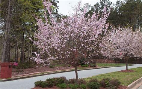 Autumn Flowering Cherry | autumnalis flowering cherry gardenality