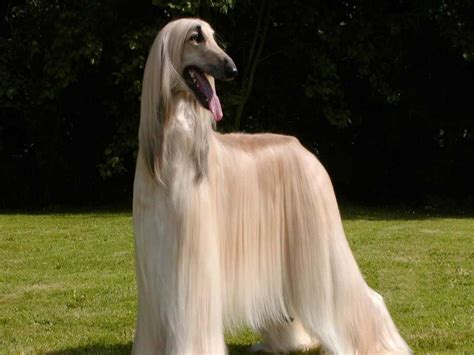 afghan breed afghan hound breed 187 information pictures more