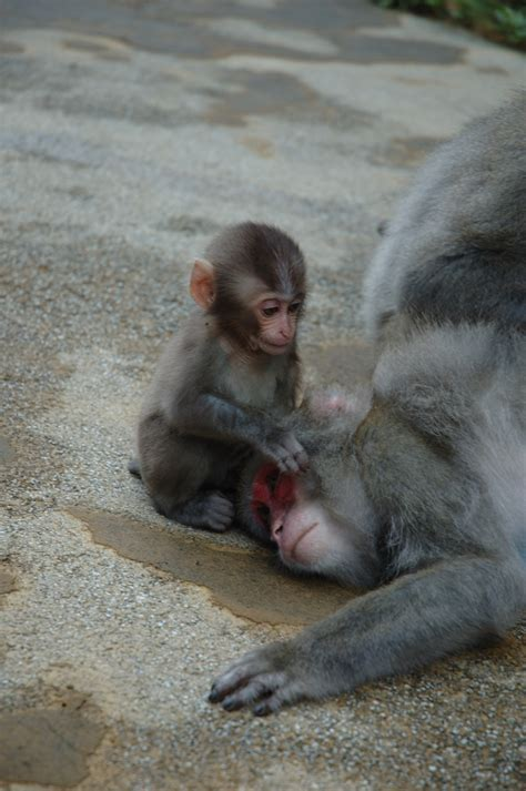 File:Japanese Macaques baby.JPG - Wikimedia Commons