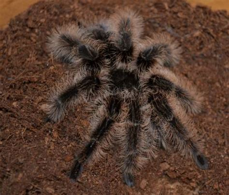honduran curly hair tarantulas  sale