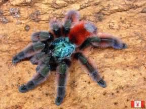 colorful tarantulas wilo in wiggle world i like animal knowledge and i