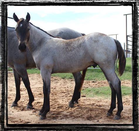 blue horses for sale in blue roan colt possiblye rn rn e e 3 000
