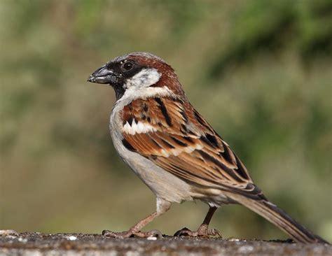 house sparrow birds iitk