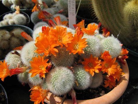 crown cactusgrowing rebutia cacti