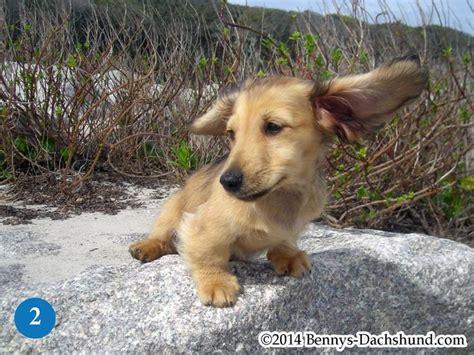dachshund puppies wilmington nc 17 best ideas about dachshund puppies for sale on dachshund puppies