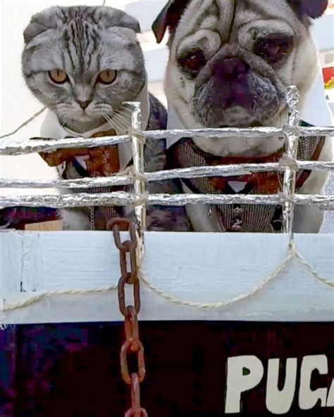 pug titanic made fur each other the pug and cat titanic is as adorable as it is hilarious