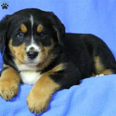 labernese puppies labernese puppy for sale in pennsylvania