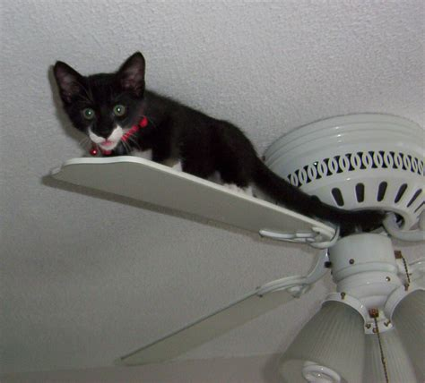 Cat In Ceiling Fan by File Ceiling Cat Jpg Wikimedia Commons