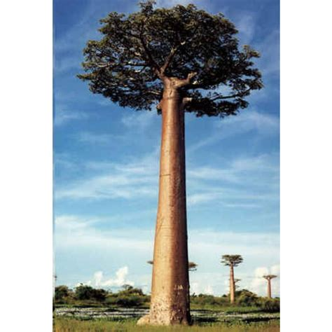 Wholesale Fruit Trees - adansonia grandidieri seeds giant baobab seeds