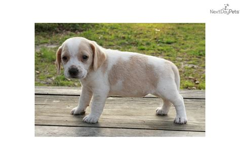 puppies for sale in tallahassee beagle for sale for 200 near tallahassee florida 82f23849 09c1