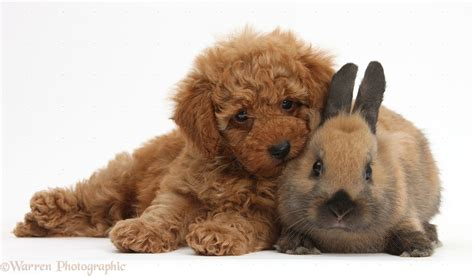 brown poodle puppy brown poodle wallpaper