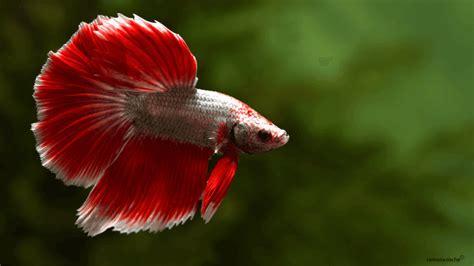 Pelet Ikan Gapi Dan Cupang jenis jenis dan harga ikan cupang hias serta aduan termahal di dunia