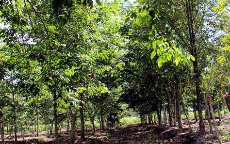 Pisau Hutan tanaman belangiran potensial untuk peningkatan pad