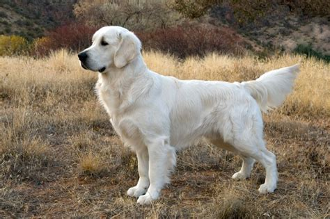 golden retriever rescue utah miniature golden retriever bred by c and s ranch their dogs breeds picture