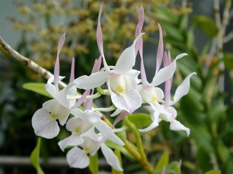 dendrobium leporinum j j smith