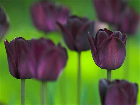 Gamis Tulip Black black tulips wallpaper 2048x1536 66264
