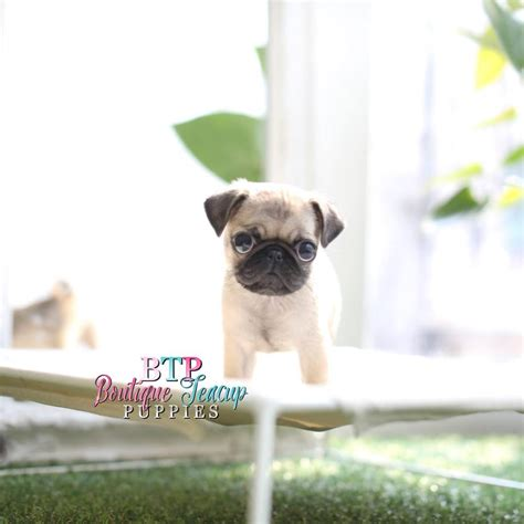 baby and pug puppies black pugs puppies for sale baby pug for sale boutique