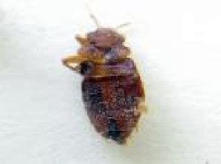 bed bug exoskeleton pictures bed bug exoskeletons