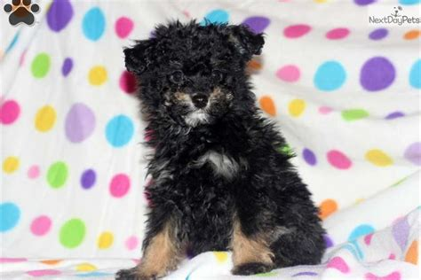pomapoo puppies for sale near me poma poo pomapoo puppy for sale near lancaster pennsylvania 5a909f6b 3f21